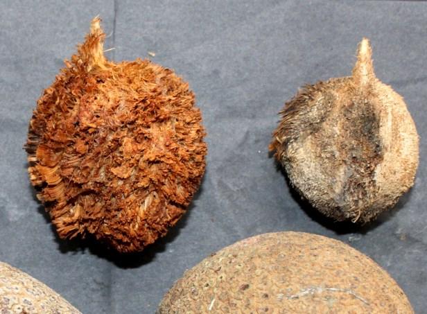 Pholidocarpus majdum IMG_1586