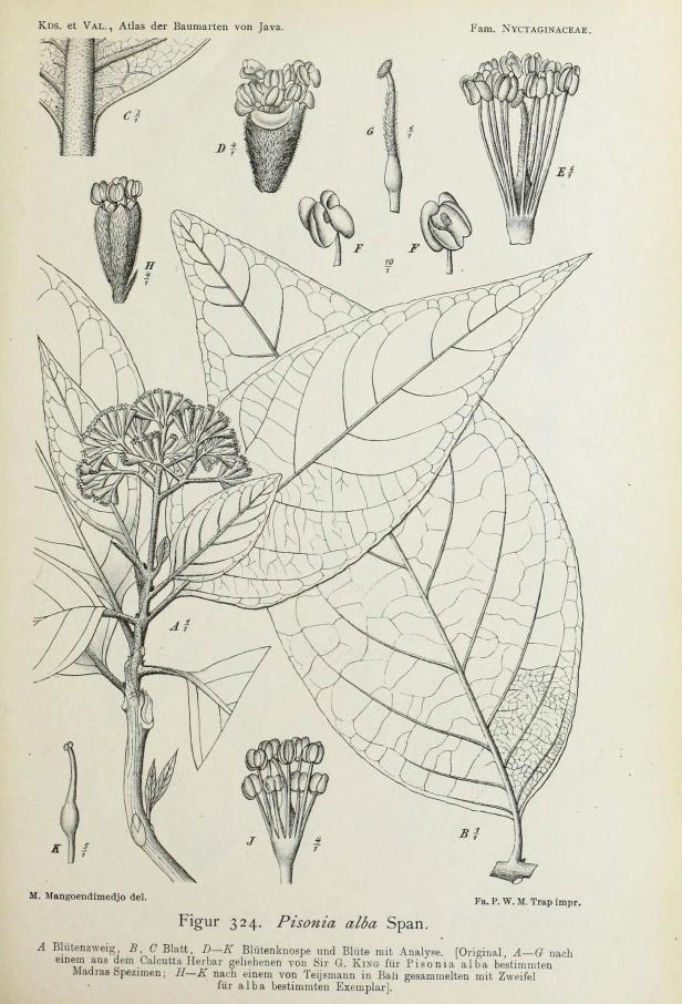Pisonia alba 276743.jpg