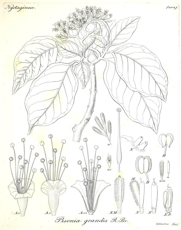 Pisonia grandis 164906.jpg