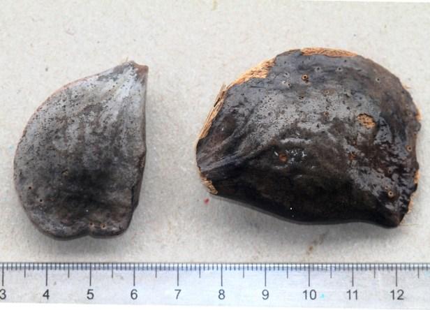 Quassia indica Borneo IMG_7659