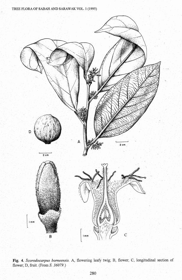 Scorodocarpus bornensis 018.jpg