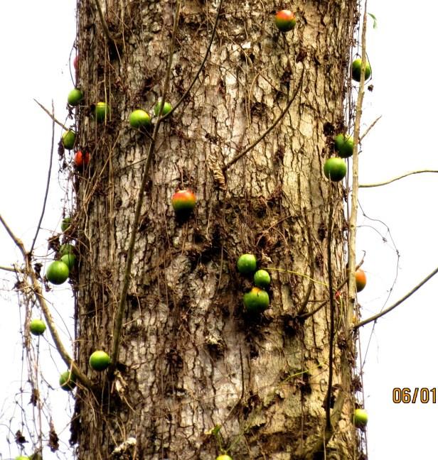 Tricosanthes cucumber IMG_8672.JPG