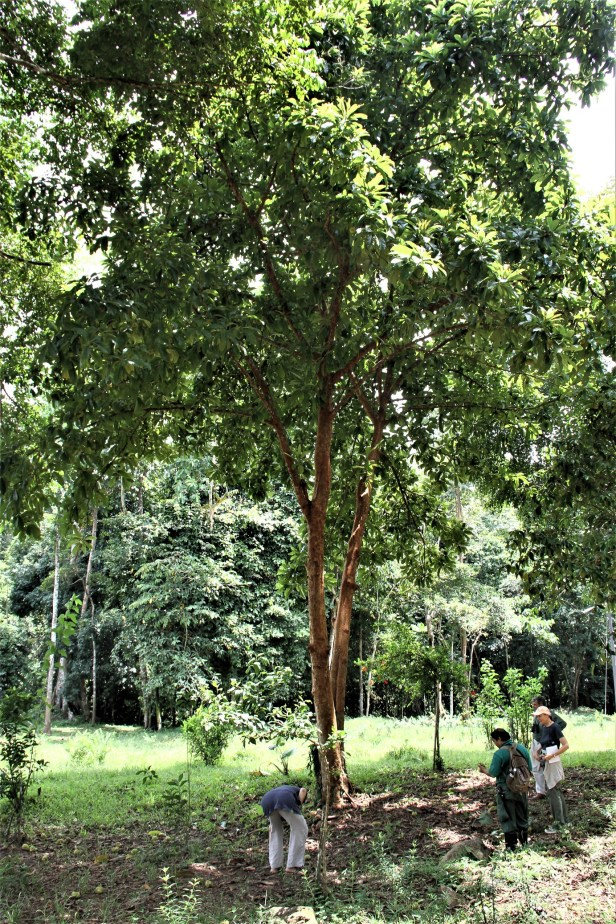 04 Dillenia indica tree IMG_6063