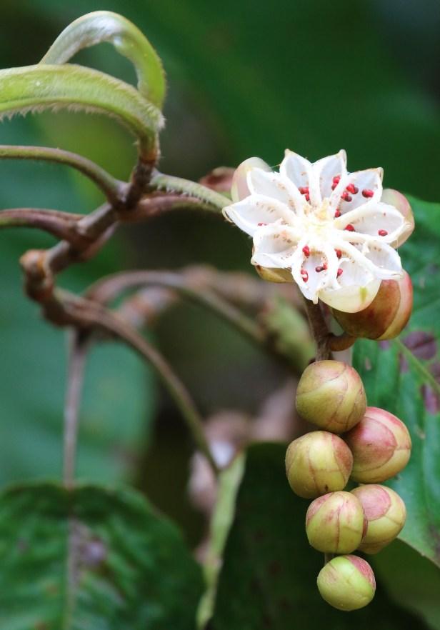 Dilennia beccariana 3P7A2612.JPG