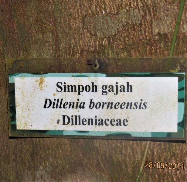 Dillenia borneensis IMG_0007