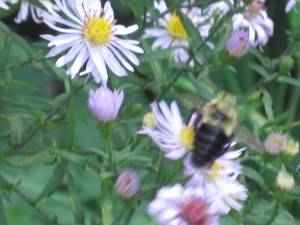 Bees visit the asters
