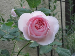 Heritage rose up close. It has a lovely lemony fragrance.