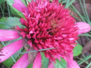 Bright pink echinacea 'Gum Drop'