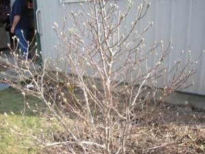 Star magnolia in bud