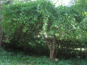 Paul's Himalayan musk rose bower over old apple tree