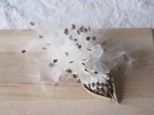 Milkweed seedpod