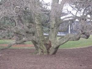 Tree NYBG 1