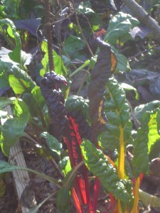 Last of the Rainbow Swiss chard.