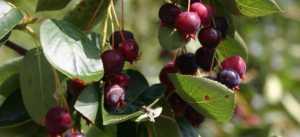 Amelacnhier_ballerina_fruit