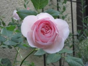 Rose - petals are in Golden Spiral!