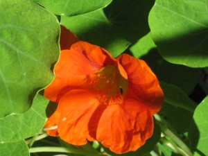 Nasturtium - inspiring scientists.