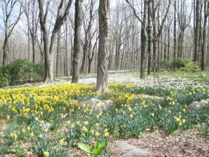 Daffodils in woodlands