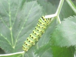 Organic angelica to feast upon for this swallowtail caterpiller.