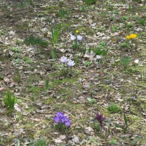 Early, small bulbs in the meadow.