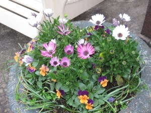 Osteospermum and pansies in urn