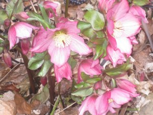 Hellebores in bloom