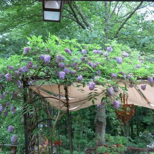 And the wisteria grows as well.