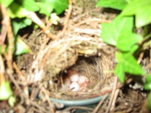 Wren's nest with eggs