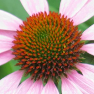 The pattern of the Echinacea 'cone' fascinates me.