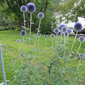 Eryngium outside a restaurant in Vermont