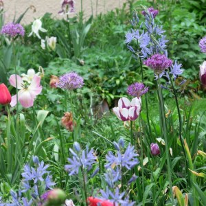 Camassia, alliums and tulips