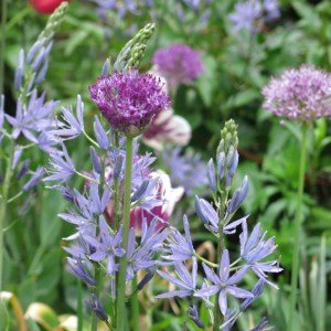 Camassias and alliums