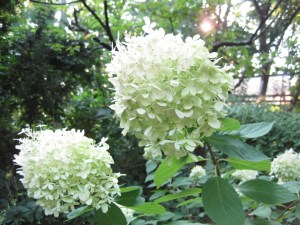 Hydrangea in September