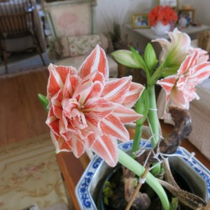 Salmon and white double amaryllis