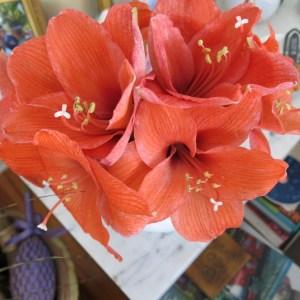 Orange amaryllis