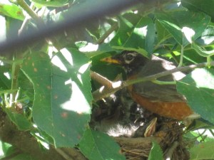Watchful mama robin