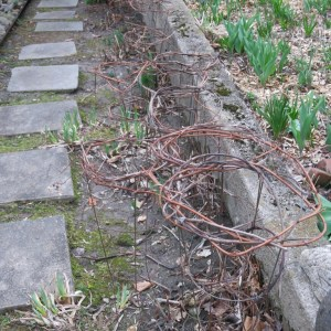 Grapevine prunings on peony supports