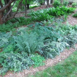 A collection of ferns at Dr. Mickels' garden