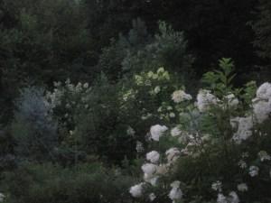 White flowers illuminating the dusk in my friend Ron's garden.