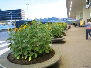 Sunflowers at Schiphol, Amsterdam