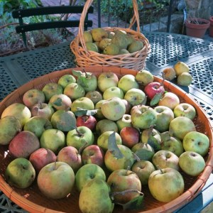 A portion of the apple harvest