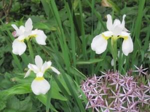 Iris and allium