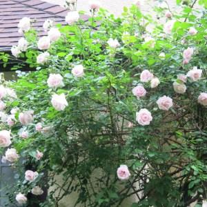 New Dawn roses