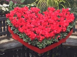 Cyclamen heart