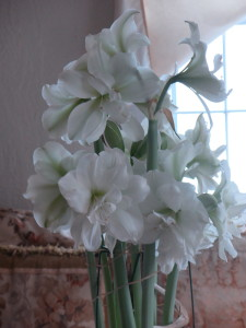 My own amaryllis grown the 'old' way. But, I stopped watering them 10 days ago when I returned from Holland.