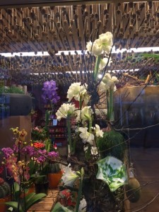 The amaryllis display as seen from outside the Bergflora shop in Eindhoven, NL