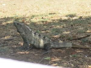 Iguano