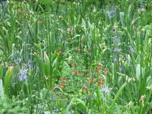 Aquilegia canadensis in the meadow