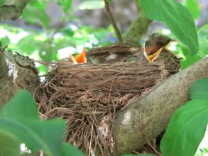 American robin babies in the apple espalier