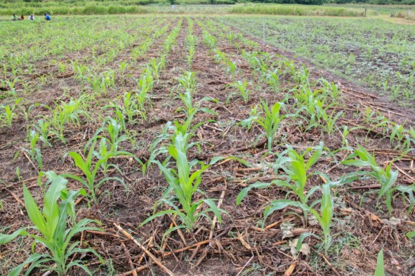 Young maize plants growing on a MAF-SoL research station as part of variety trials © Unknown/Seeds of Life