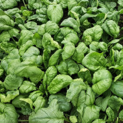 SPINACH - Bloomsdale - Spinacia oleracea
